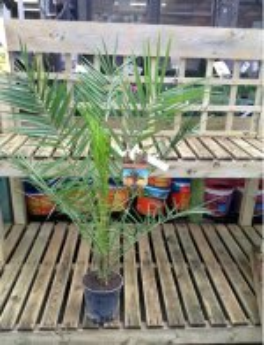 phoenix-canariensis-plant