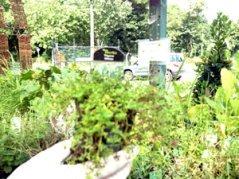thyme white herb plant