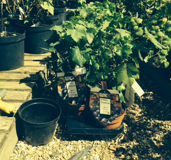 gooseberry fruit plants