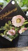 hellebore loren shrub