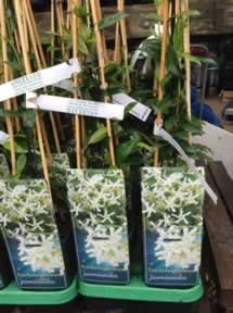 trachelospermum shrub