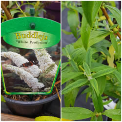 buddleja-butterfly-bush