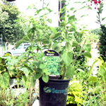 catmint plants