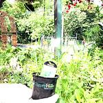 coriander herb