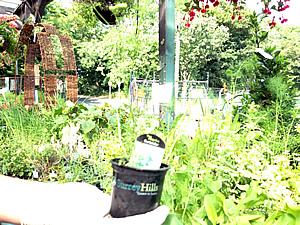 coriander herb plant