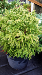 cryptomeria-japonica-telford-gold