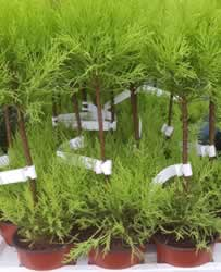 cupressus-duo-ball