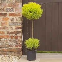 Cupressus Duo Ball