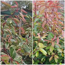 hedging-plants