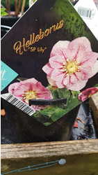 Hellebore Lily