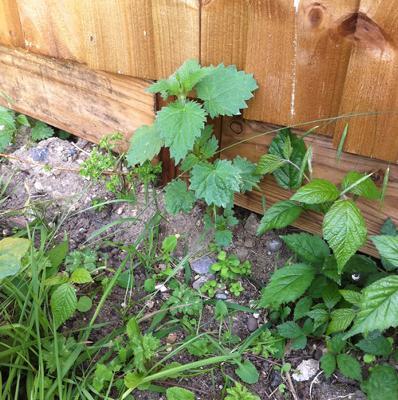 garden shrubs - weed