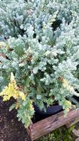 juniperus-chinensis-expanser