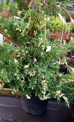 juniperus-chinensis