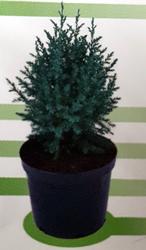juniperus-chinesis