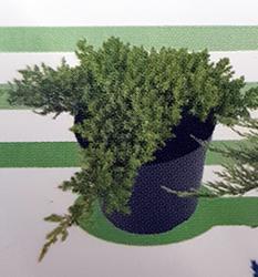 juniperus-procumbens