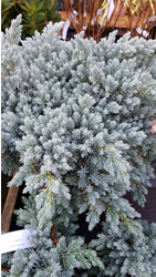 juniperus-squamat-blue-star