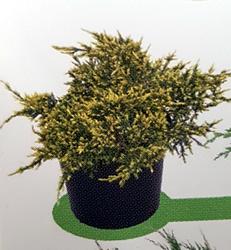 juniperus-squamata