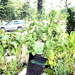 oregano herb plant more info