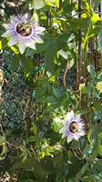 Passilora  caerulea Blue passion flower
