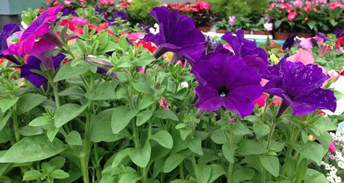 petunias flowering plants