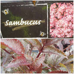 sambucus-nigra-black-tower
