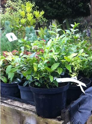 sarcococca shrubs