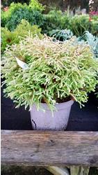 thuja-occidentalis-golden-tuffet