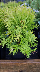 thuja-occidentalis-mrjam