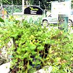 thyme white plant