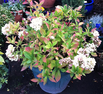 viburnum garden shrubs