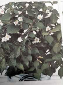 Weigela shrubs