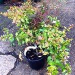 abelia garden shrub