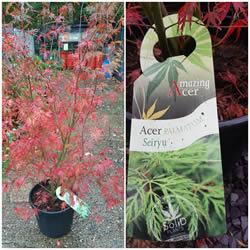 acer-palmatum-seiryu