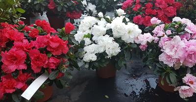 azaleas-shrub