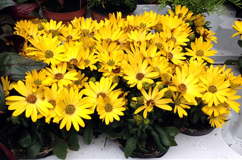 daisy plants anlex garden centre