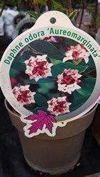 daphne-shrubs