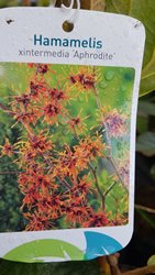 hamamelis-shrubs