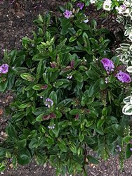 hebe-donna-anna-shrub