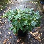 rhododendron shrubs