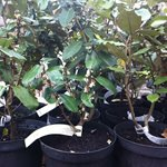 eleagnus ebbengii shrub
