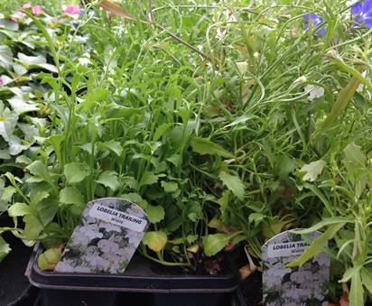 lobelia plants