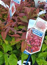 nandinia-blush-shrub