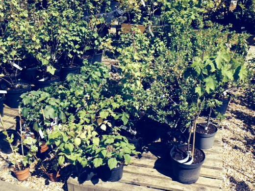 raspberry fruit plants