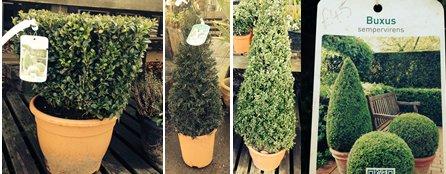 topiary shrubs