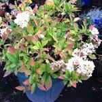 viburnum garden shrub